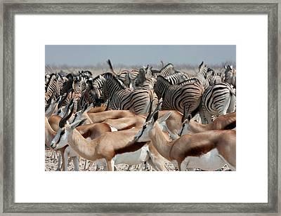 Group Of Springboks (antidorcas Framed Print