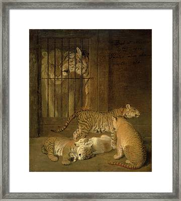 Group Of Whelps Bred Between A Lion And A Tigress A Group Framed Print by Litz Collection