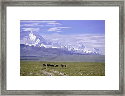 Group Of Yaks Walk Across A Green Framed Print