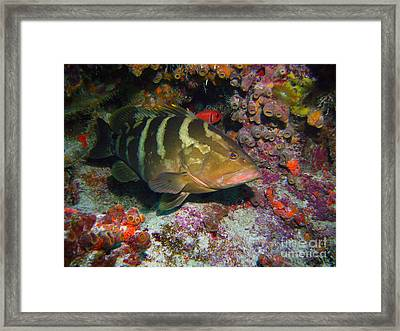 Grouper Framed Print by Carey Chen