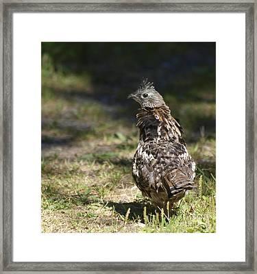 Grouse Hunter Framed Print