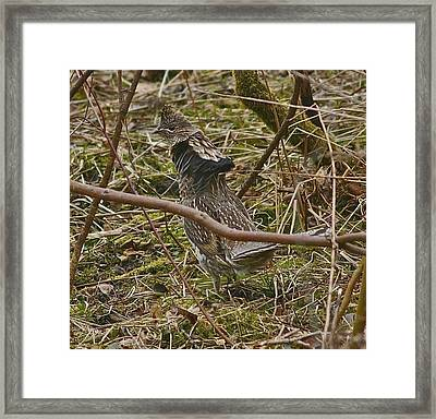 Grouse Framed Print