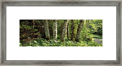 Grove Of The Patriarchs Mt Rainier Framed Print by Panoramic Images