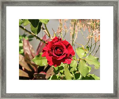 Growing Rose Framed Print by Zina Stromberg