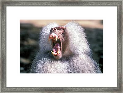Growling Dominant Male Hamadryas Baboon Framed Print