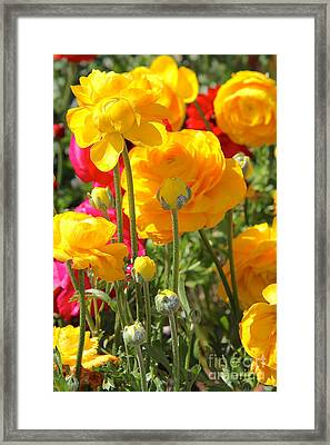 Growth Of A Ranunculus Framed Print