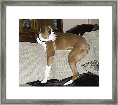 Gruff Looking Boxer Puppy On Couch Framed Print by Tony Moran