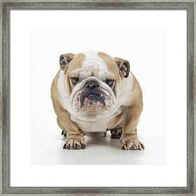 Grumpy Bulldog Framed Print by John Daniels