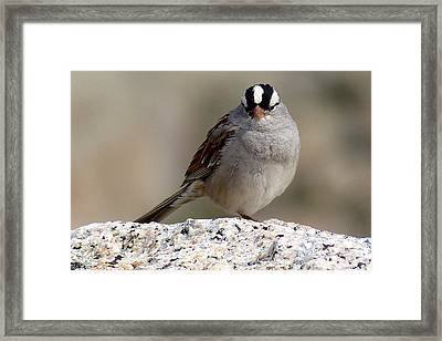 Grumpy White Crowned Sparrow Framed Print