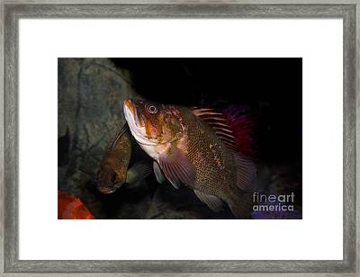 Gruper Fish 5d24129 Framed Print by Wingsdomain Art and Photography