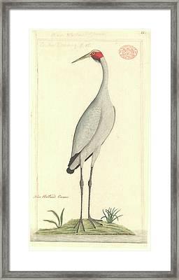 Grus Rubicunda Framed Print by Natural History Museum, London