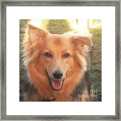 #gsd #germanshepherd #germanshepherddog Framed Print by Isabella F Abbie Shores FRSA