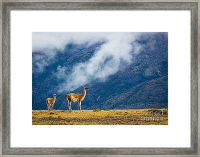 Guanaco Mother And Child Framed Print by Inge Johnsson
