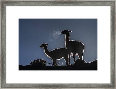 Guanaco Pair Torres Del Paine Np Framed Print by Pete Oxford
