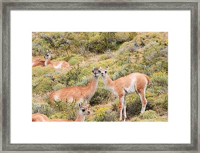 Guanaco Framed Print