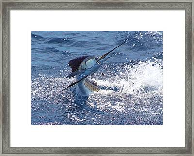 Guatemala Sailfish Framed Print by Carey Chen