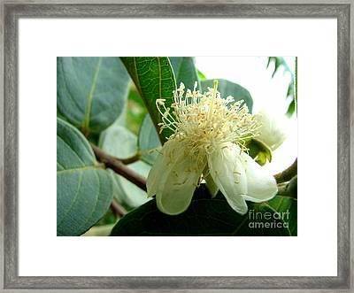 Guava Blossom Framed Print by Lew Davis