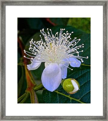 Guava Flower Blooming Framed Print by Joe Wyman