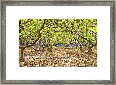 Guava Garden In Autumn Framed Print by Image World