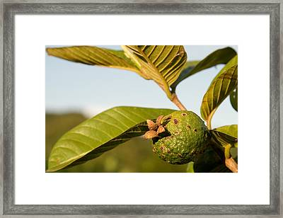 Guava On A Tree Framed Print by Celso Diniz