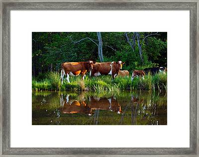 Guernsey Cows Framed Print by David Simons