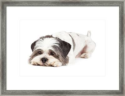 Guilty Looking Lhasa Apso Dog Laying Framed Print by Susan Schmitz