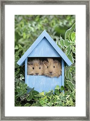 Guinea Pig In House Gp104 Framed Print by Greg Cuddiford