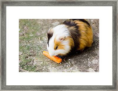 Guinea Pig Framed Print by Pati Photography