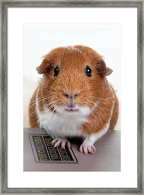 Guinea Pig Talent Framed Print by Susan Stone