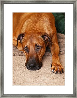 Guinness Framed Print by Lisa Phillips