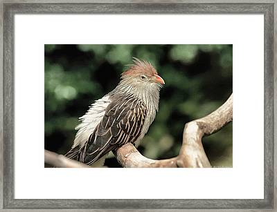Guira Cuckoo Framed Print by Dennis Baswell