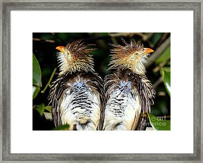 Framed Print featuring the photograph Guira Cuckoos by Lisa L Silva