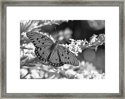 Gulf Fritillary Black And White Framed Print
