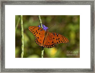 Framed Print featuring the photograph Gulf Fritillary Butterfly by Meg Rousher