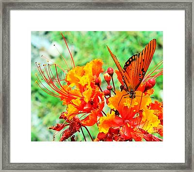 Gulf Fritillary Butterfly On Pride Of Barbados Framed Print