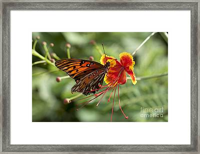 Framed Print featuring the photograph Gulf Fritillary Photo by Meg Rousher