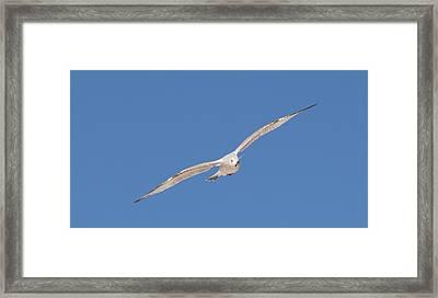 Gull In Flight - 2 Framed Print