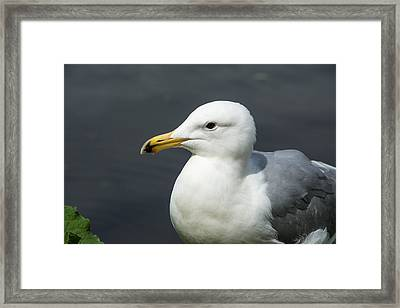 Gull Framed Print by Michele Wright