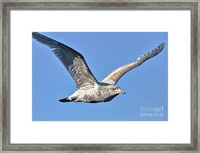 Gull Wings Framed Print by Phillip Garcia