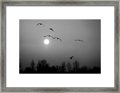 Gulls On The Vistula River Framed Print