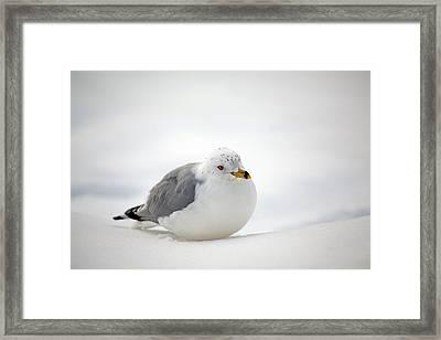 Gulls Winter Pose Framed Print