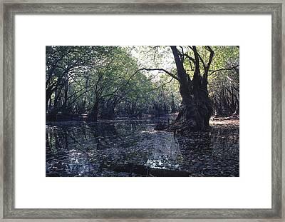 Gum Swamp Framed Print