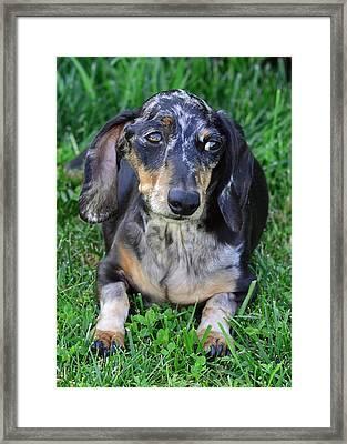 Gus The Dappled Miniature Dachshund Framed Print