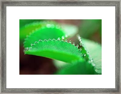 Guttation On A Leaf Framed Print by Dr. Nick Kurzenko