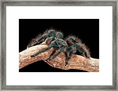 Guyana Pink Toe Tarantula, Avicularia Framed Print by David Northcott