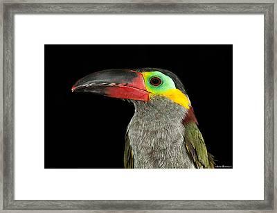 Guyana Toucanette Framed Print by Avian Resources