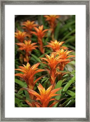 Guzmania Sanguinea Flowers Framed Print by Maria Mosolova
