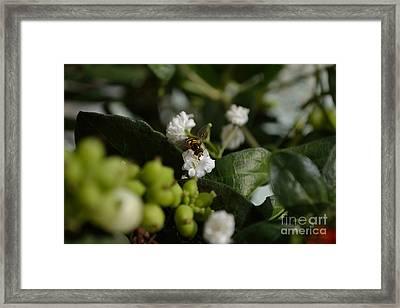 Gypsophilia Hover Fly Framed Print
