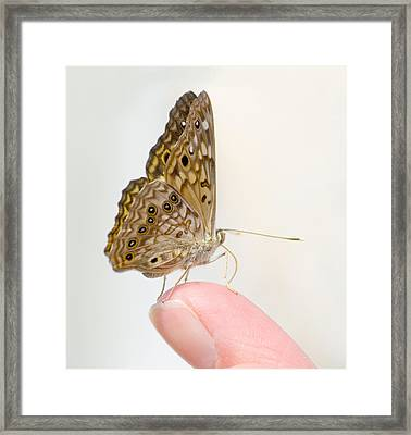 Hackberry Emperor On Finger Framed Print
