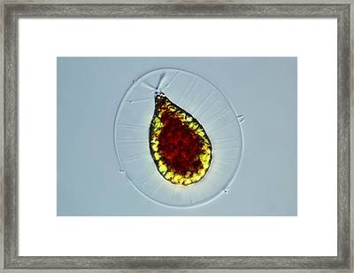 Haematococcus Alga, Light Micrograph Framed Print by Science Photo Library